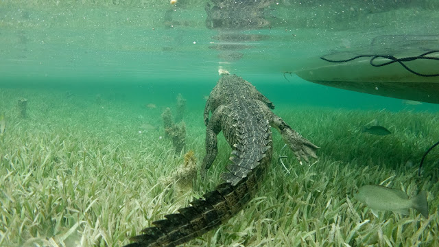 No cage crocodile diving