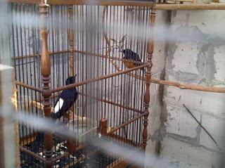 Burung Murai Batu - Penjodohan Burung Murai Batu yang Perlu Kesabaran Extra dan Butuh Waktu yang Cukup Lama - Penangkaran Burung Murai Batu