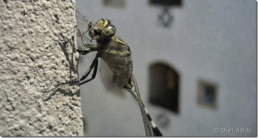 Dragon Fly Eating A Bug [Complete & Rare Video]