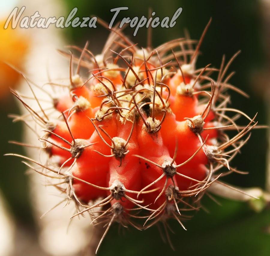 El Cactus de Colores,Gymnocalicium mihanovichii