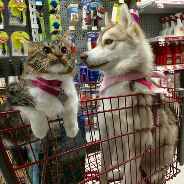 Cuộc sống hạnh phúc của bé mèo cứ nghĩ mình là chó bên gia đình Husky