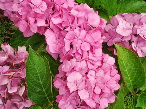 Hortensia común
