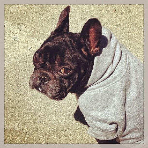 black french bulldog in a sweatshirt