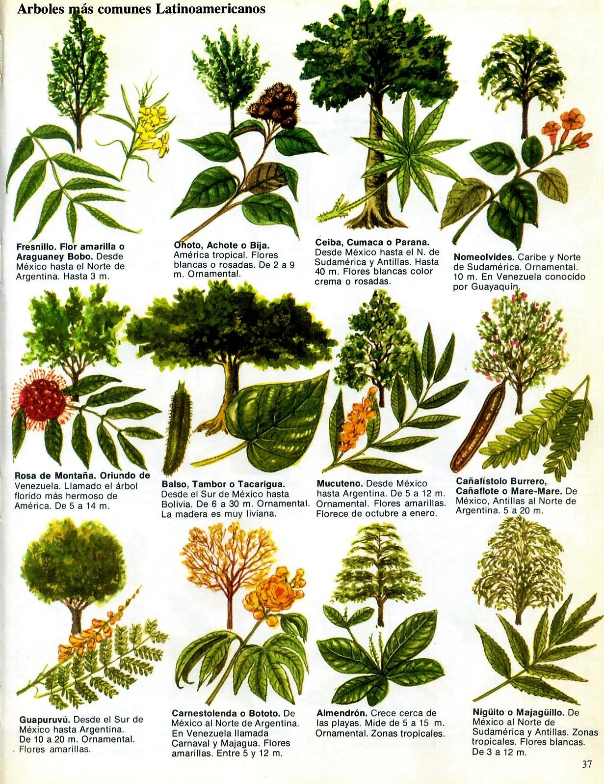 Txirpial rboles latinoamericanos for Arboles plantas y flores