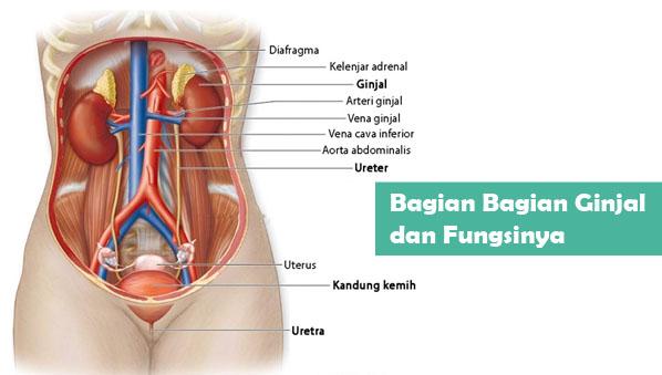 Ginjal adalah salah satu organ penting dalam proses metabolisme tubuh manusia Bagian Bagian Ginjal dan Fungsinya sebagai Alat Ekskresi Manusia