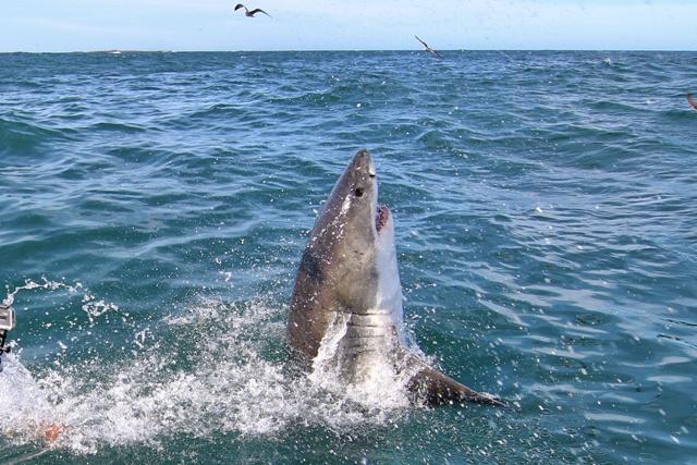El Gran Tiburón Blanco saltando fuera del agua