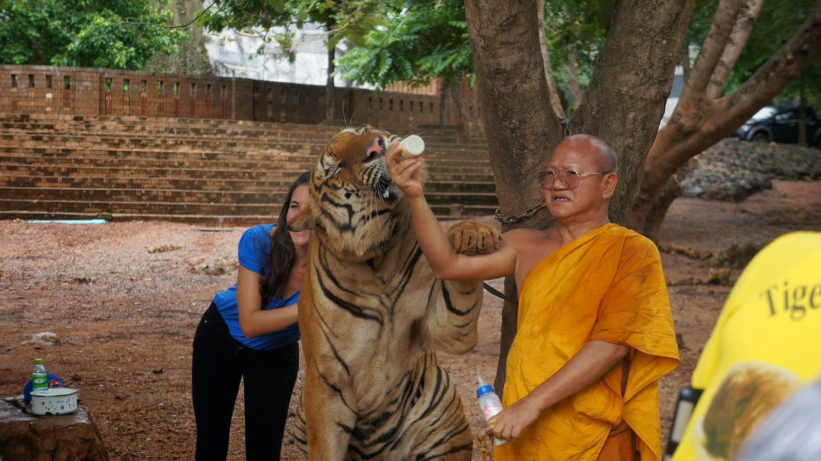 A monk feeding the largest tiger in the sanctuary