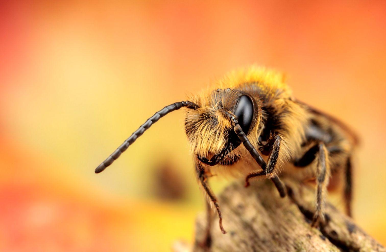 Photography Macro Honey Bee Hd Wallpaper Link Wallpapers