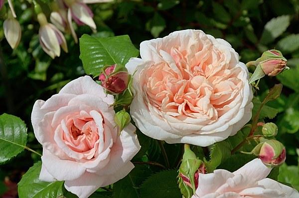 Rose de Tolbiacроза фото сорт