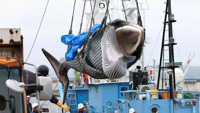 Sự trung thực kiểu Nhật qua câu chuyện săn bắt cá voi