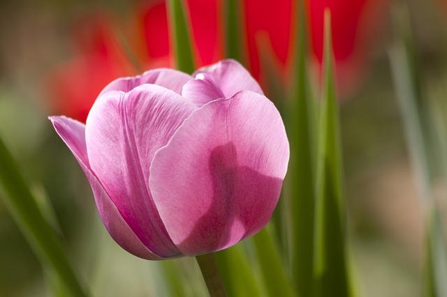 hoa tulip đỏ đẹp nhất 2