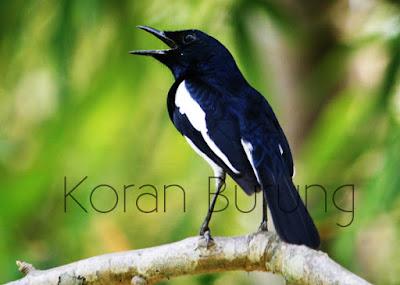 burung yang identik dengan bunyi merdunya ini berbagai peminatnya Cara Memilih Burung Kacer Bakalan Yang Prospeknya Bagus