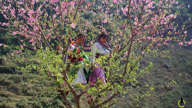 Peach, plum flowers blooming on the Plateau Ha Giang 2