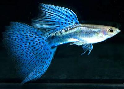 Harga dan gambar Ikan Guppy Grass Blue
