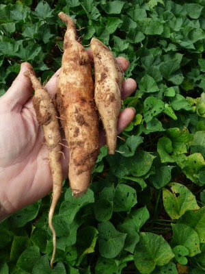 1st sampling of sweet potatoes found growing under the sprawling vines.