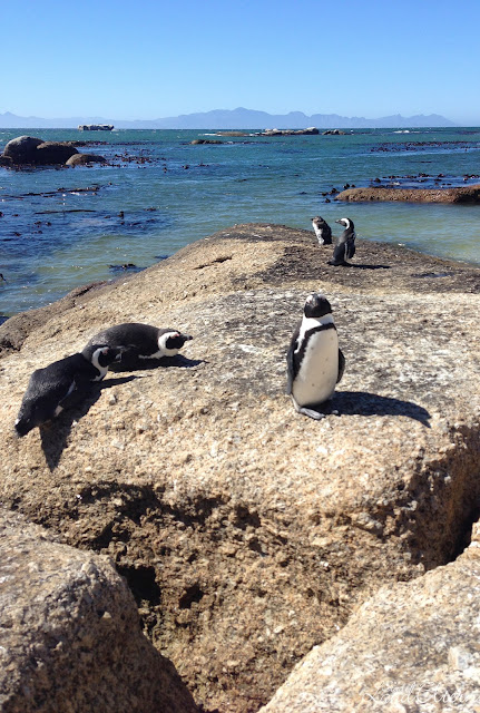 South Africa - Cape Town - Boulders Beach - Simon's Town - Pinguins