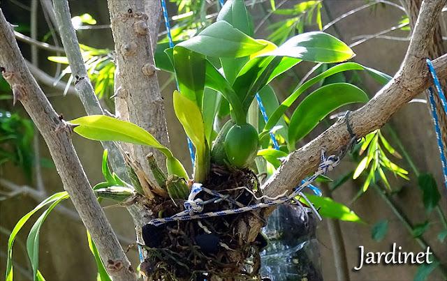 Oncidium plantada na árvore