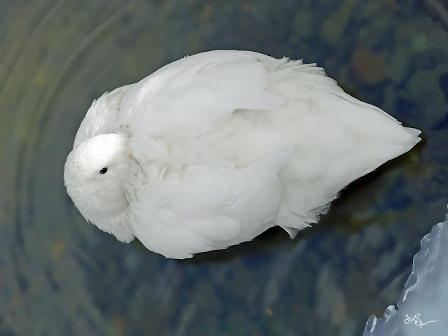 White Duck Photo