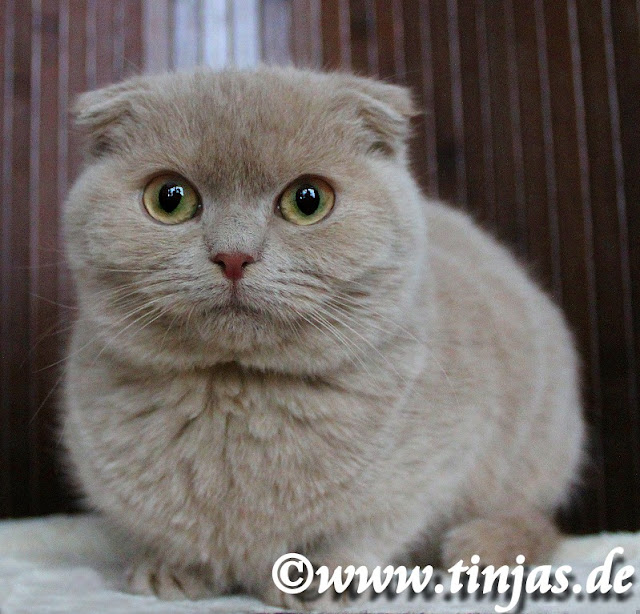 Kitten Scottish Fold fawn