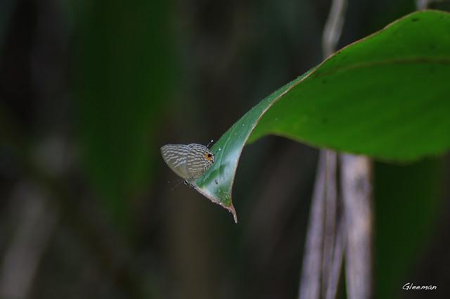 雞南山散步,白波紋小灰蝶