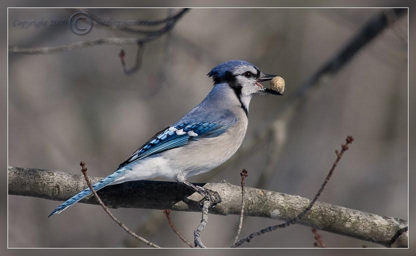 Acura Of Brooklyn >> HD Desktop Wallpaper: blue jay wallpapers