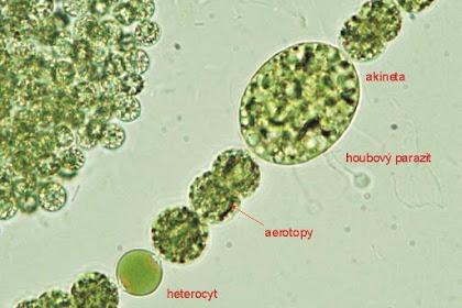 Akinet Adalah - Kamus Biologi Online