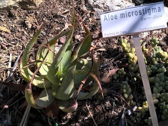Aloe microstigma