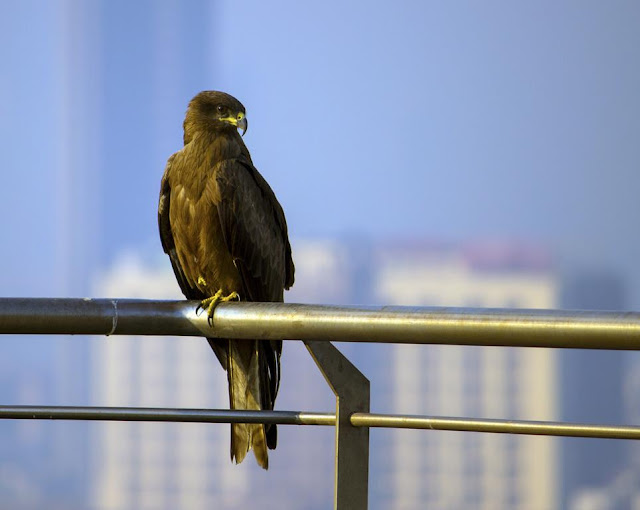 black kite, bird, bandra east, mumbai, india, perched,