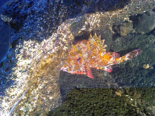 Kleiner Drachenkopf © Canarian Sea 02
