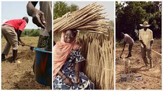 Millet farming.