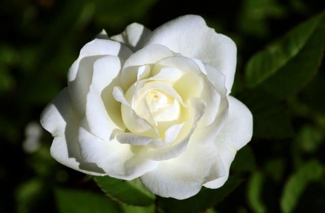 gambar cantik mawar putih