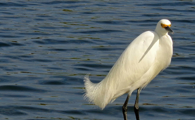 Snowy egret wading in the lake