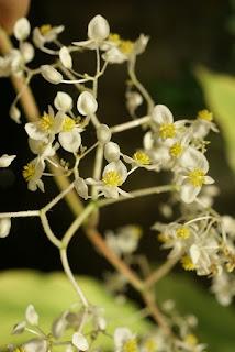 Bégonia réniforme - Begonia reniformis - Begonia vitifolia