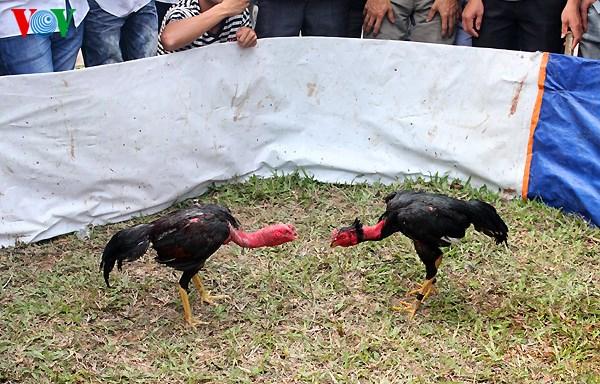 Ayam Vietnam, Ayam Saigon, Sabung Ayam, Adu Ayam, Laga Ayam, Ayam Aduan,