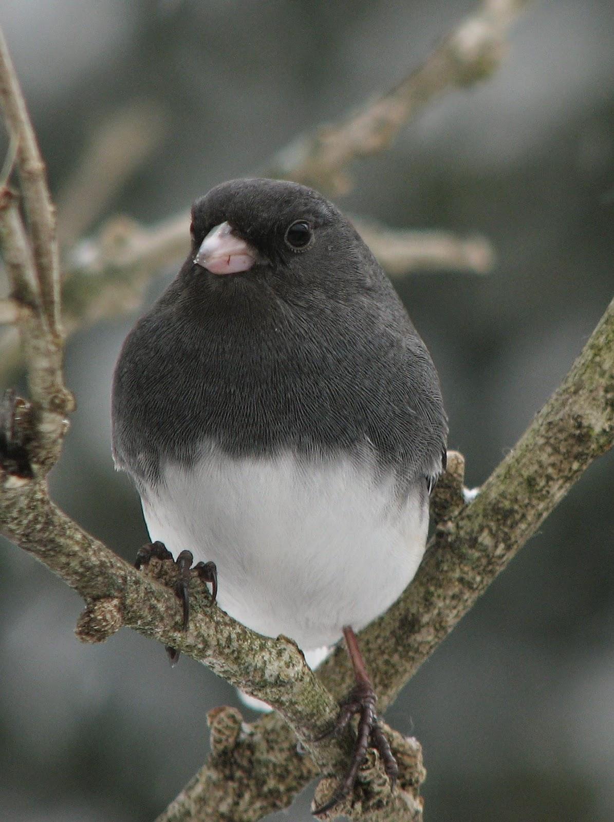 South Burlington birds: Dark-eyed Junco photos | South ...