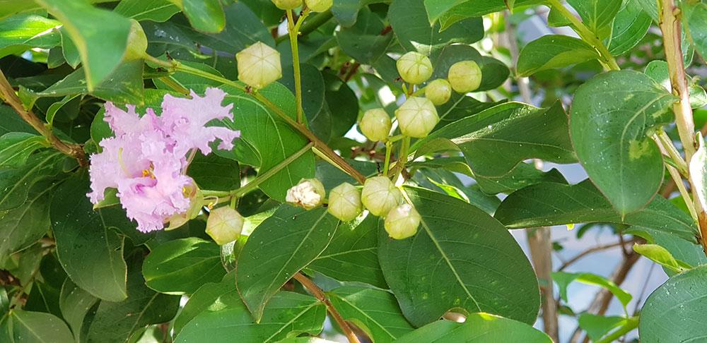 ดอกของต้นยี่เข่ง