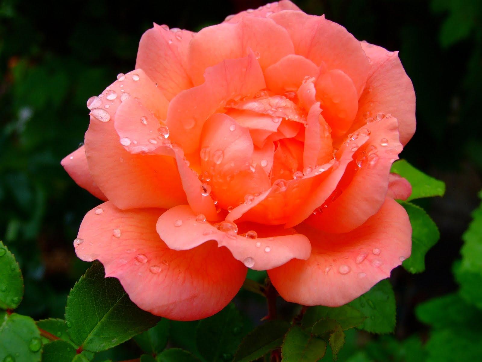 Avenger Blog Pink Rose Flower