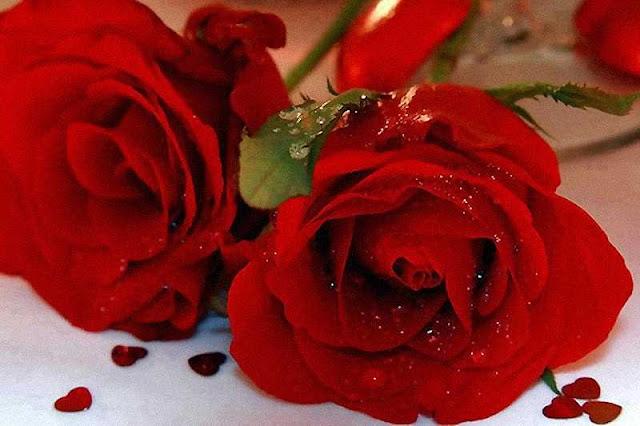 rosas-rojas-flores-rojas-28
