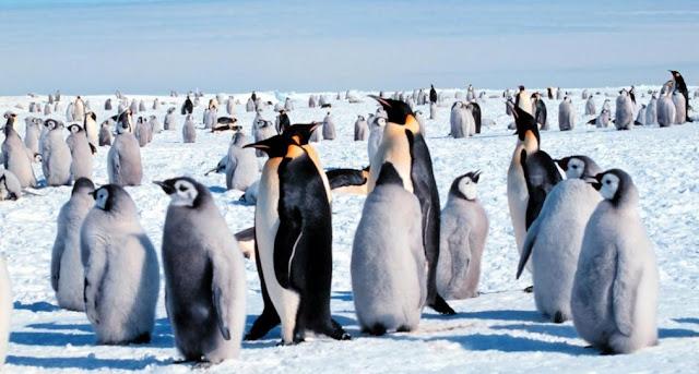 Crias de pinguino emperador