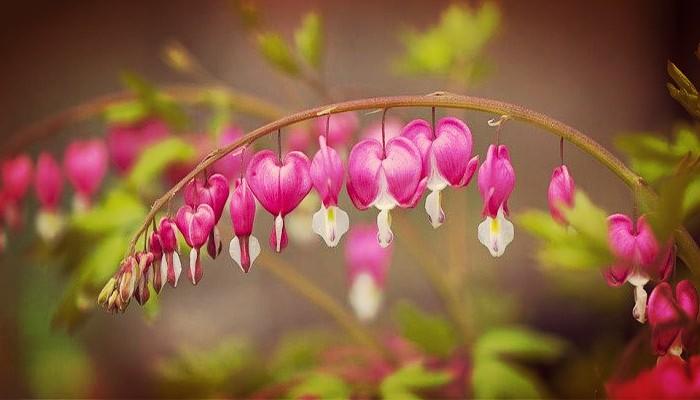 Planta corazones sangrantes