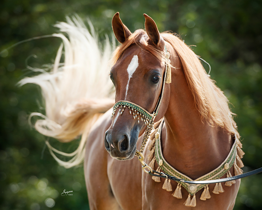 - Arabian horse pictures ...