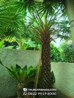 Tukang Taman Jakarta - palm kupernesia