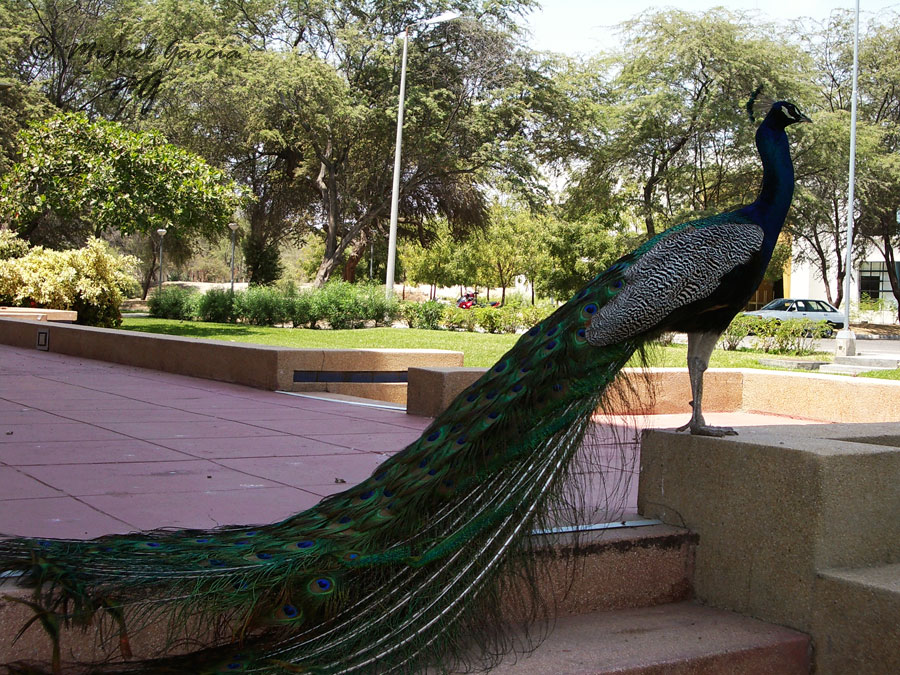 Pavo Real. Campus Universidad Privada de Piura.