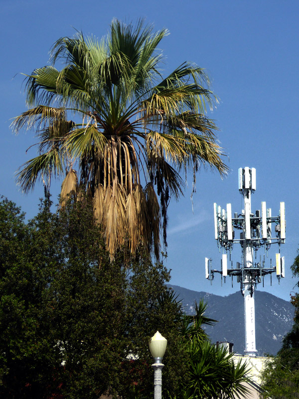 A palm tree and a cell tower in Pasadena
