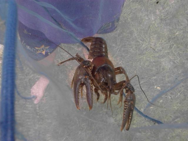 Giant CRAWLDAD Crawdad Crawfish Arbuckle Park Things to do in Brownbsurg Indiana