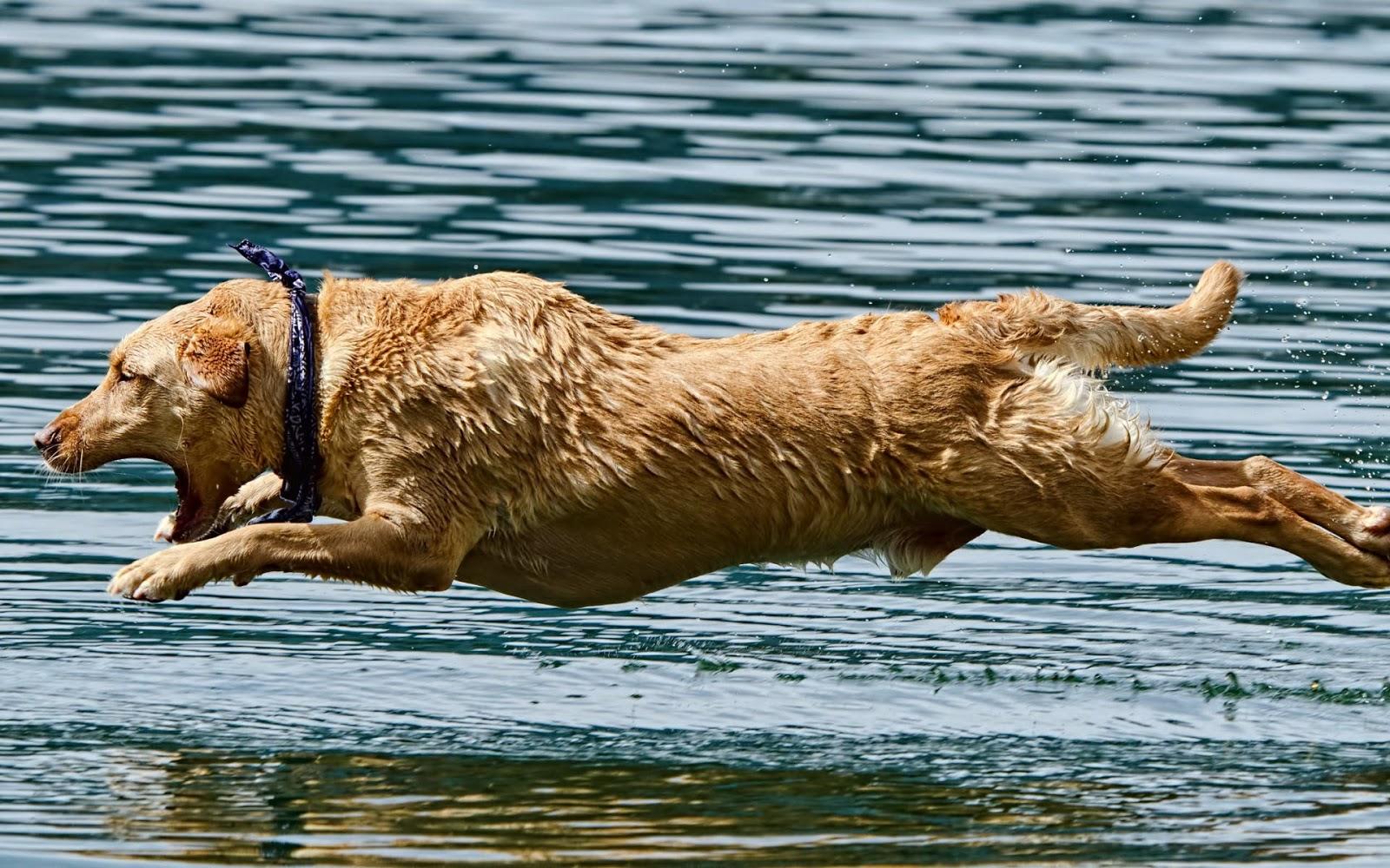 Hond springt in het water