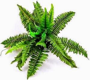 Boston Fern Nephrolepis exaltata Bostoniensis air purifying plant