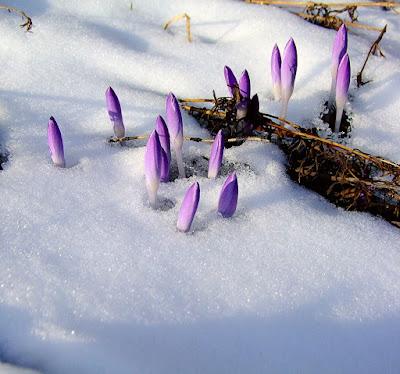 Цветы сквозь снег