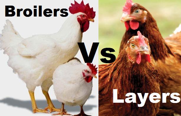 broiler or layer