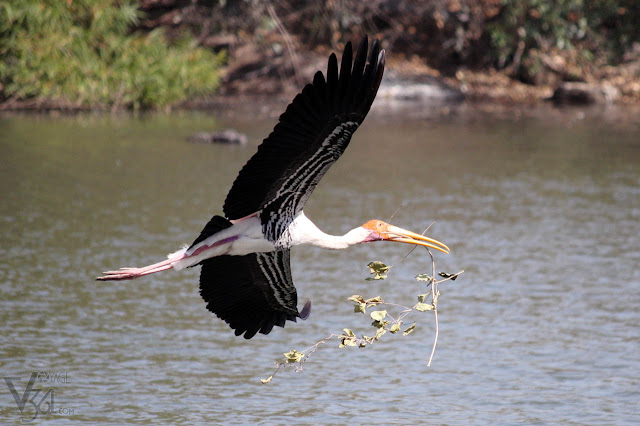 Painted Stork gathering sticks for building nest